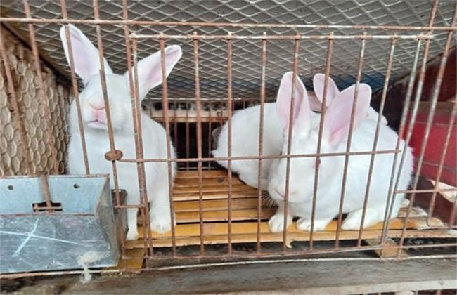 肉兔 各个时期 饲养管理