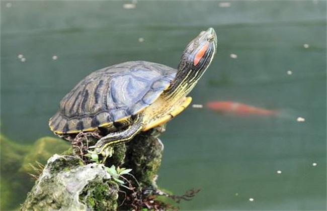 巴西龟怎么养长得快