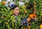 脐橙疏果时间及方法