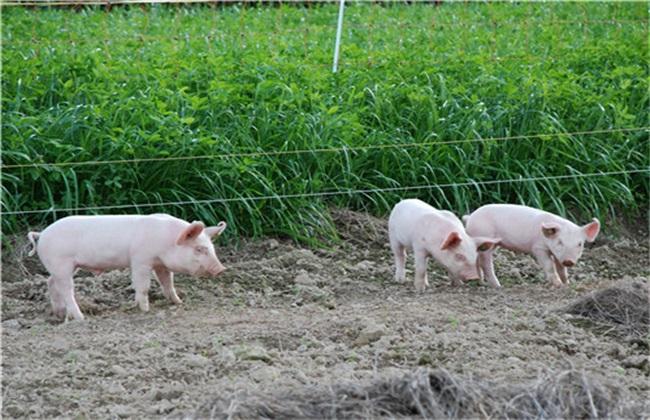 外购种猪 注意事项 种猪购买