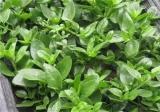 田七菜的种植方法