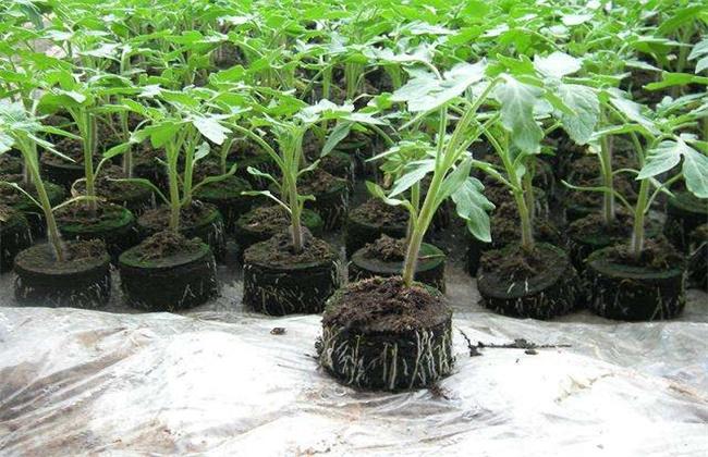 西红柿为什么不适宜多次分苗