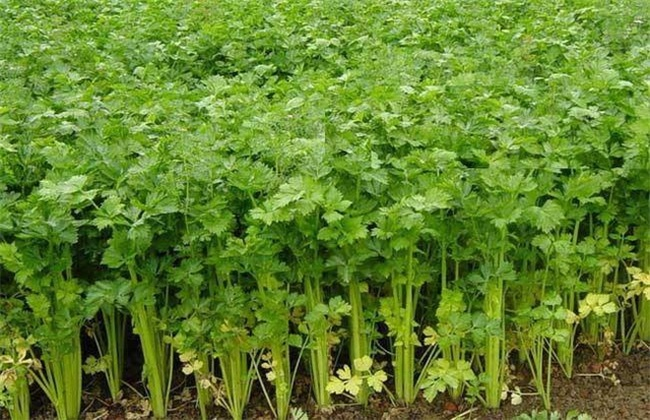 夏季芹菜 种植技术 芹菜种植