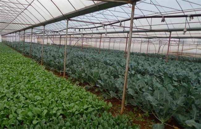 大棚蔬菜种植技术管理