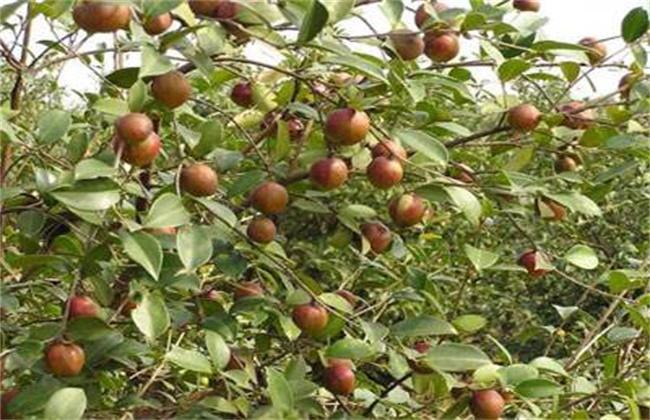 油茶高产栽培要点