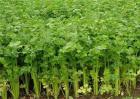 夏季芹菜的种植新技术