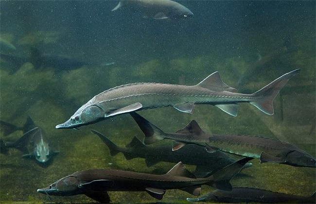 鲟鱼养殖技术