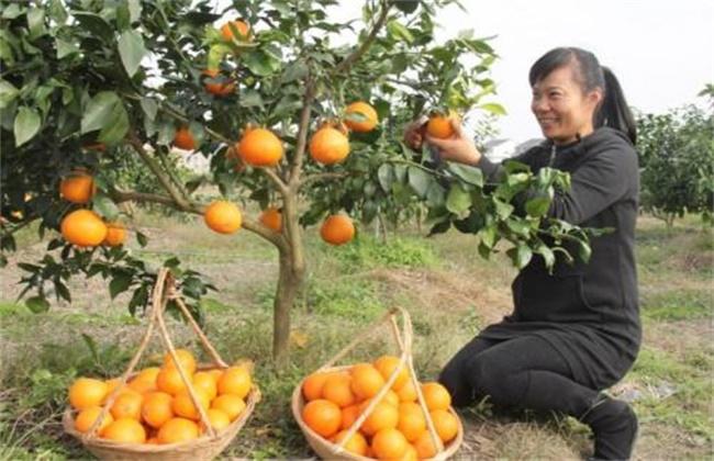 红美人柑橘种植技术