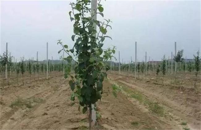 幼龄果树易衰亡的原因及预防措施