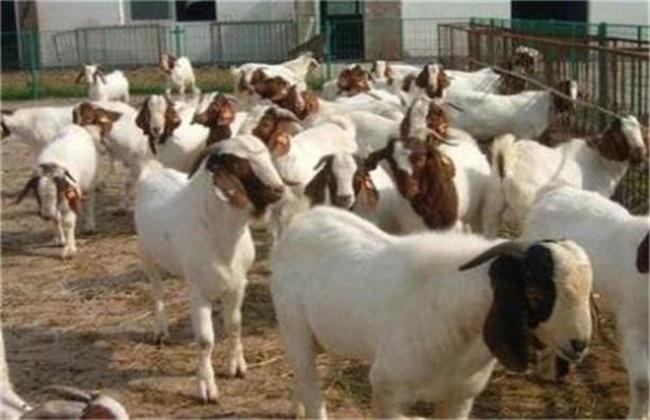 羊中暑症状 羊中暑解救措施