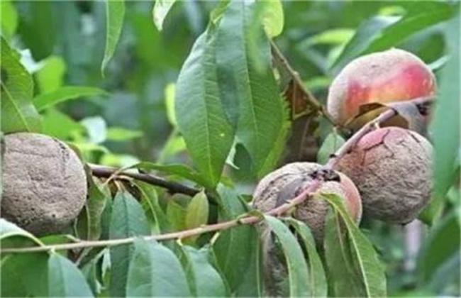 黄桃常见病害的防治技术