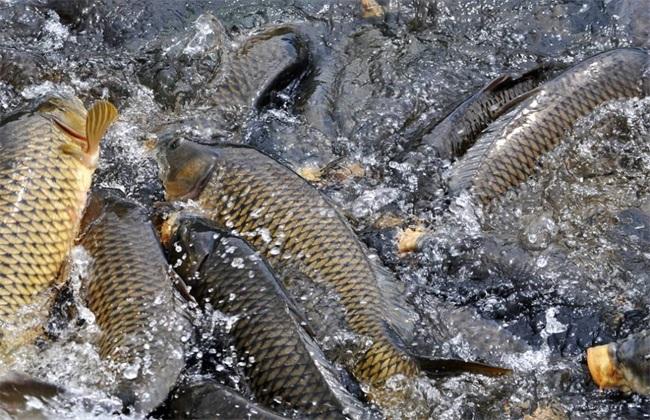 鲤鱼功效与作用