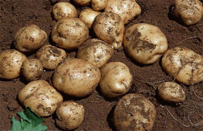 马铃薯 怎么种植 高产