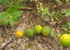 柑橘采收前异常落果怎么办