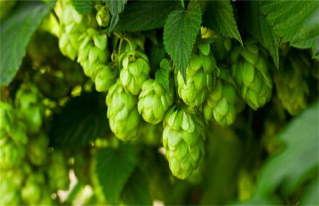 啤酒花繁殖 啤酒花 繁殖方法
