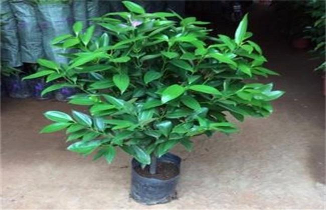 平安树养殖方法和注意事项