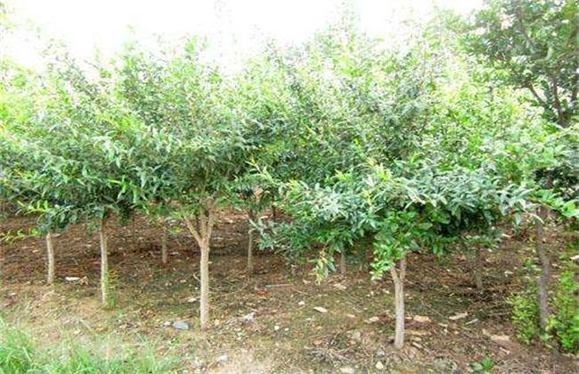 石榴树怎么修剪结果多
