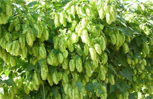 啤酒花的种植技术