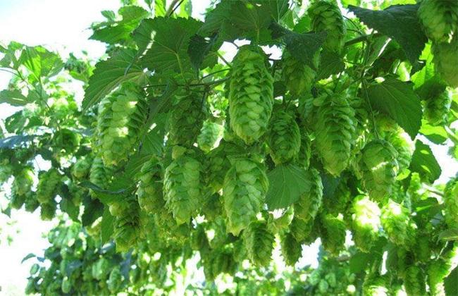 啤酒花种植管理 啤酒花管理