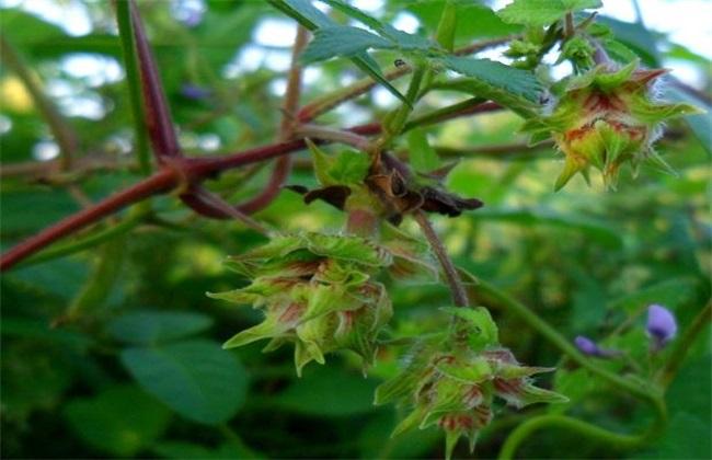 葎草种植技术 葎草种植 葎草