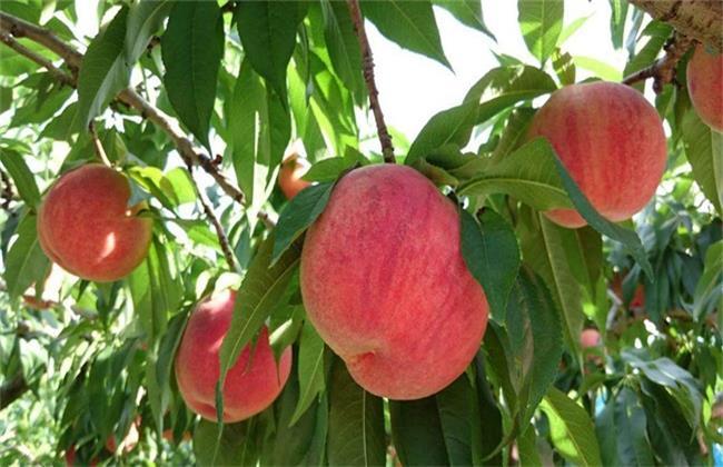 桃子的功效与作用