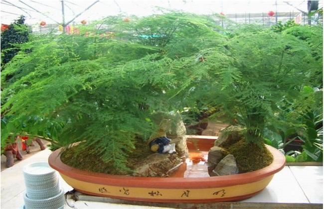 文竹 养殖方法 注意事项