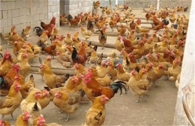 夏季养鸡如何防控禽流感