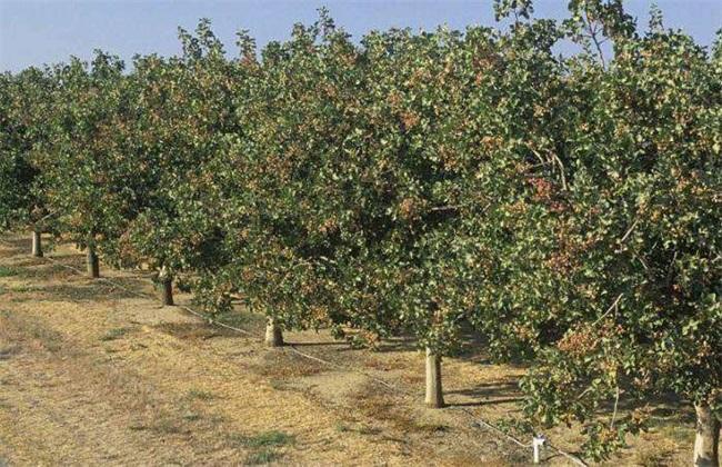 开心果树适合哪里种植