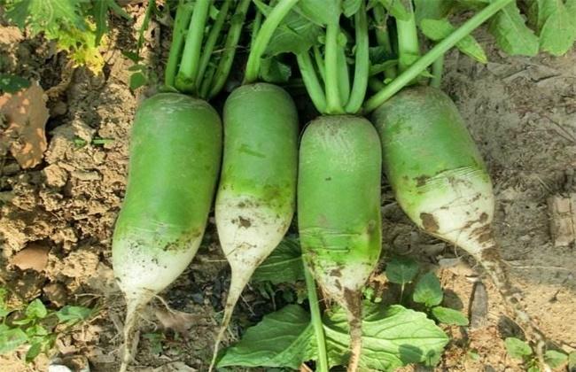八月适合种植什么蔬菜