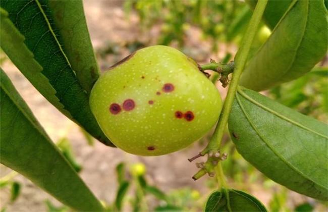 冬枣斑点病的防治方法