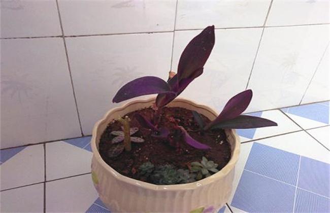紫罗兰扦插繁殖技术