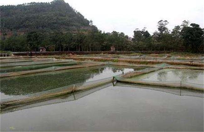泥鳅养殖一亩产量多少