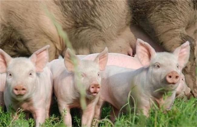 影响母猪产仔数量的有哪些因素