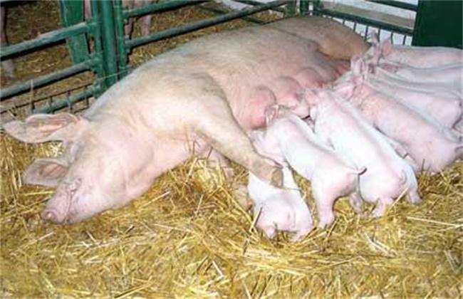 影响母猪产仔数量有哪些因素