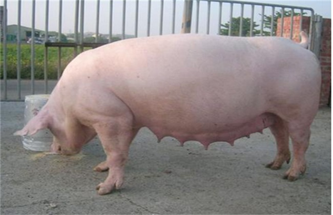 如何提高母猪的繁殖性能