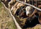 夏季牛采食量减少该怎么解决