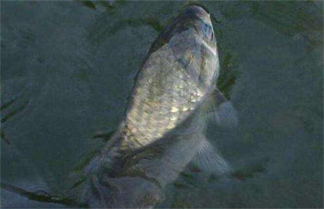 鲫鱼吃什么食物生长快