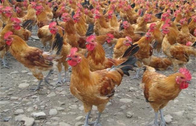散养鸡感冒原因及防治方法