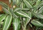 富贵竹养殖方法和注意事项