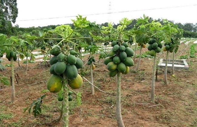 木瓜种植技术及亩产