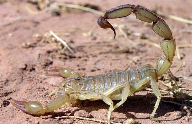 蝎子喂什么饲养