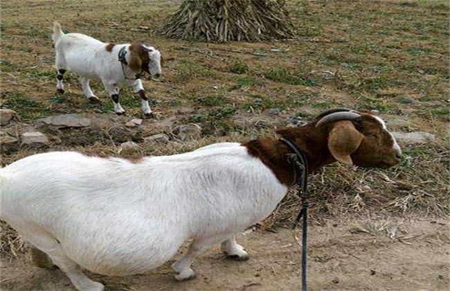 羊怀孕几个月生小羊