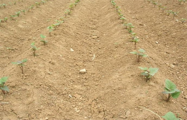 紫薯对生长环境的要求
