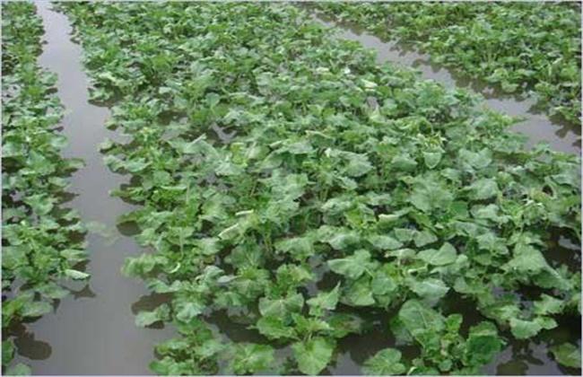 油菜苗发黄原因及补救措施
