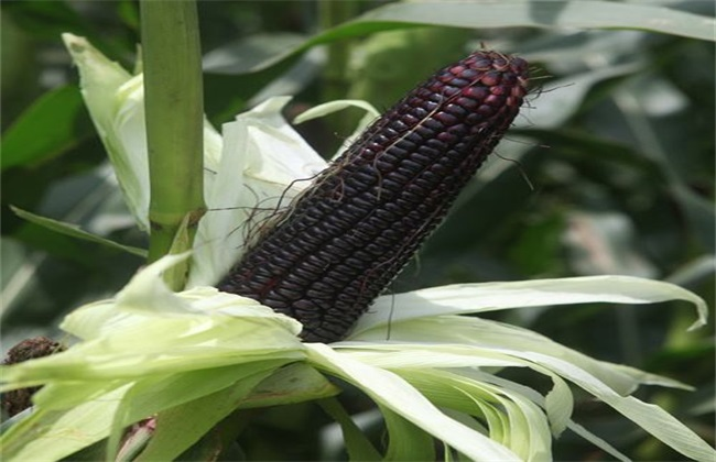 黑玉米产地是哪里