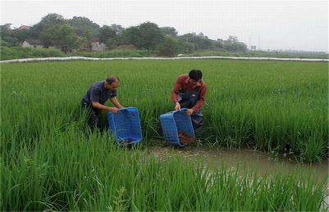 高温季节稻虾共养注意事项