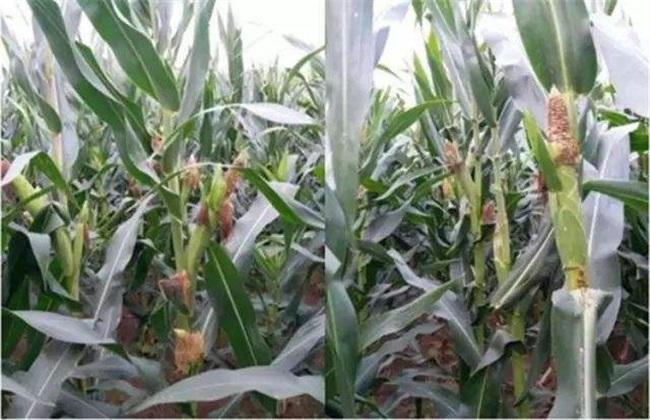 玉米苞叶短的原因