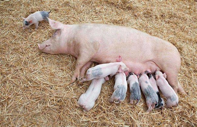 导致猪低温不食的原因