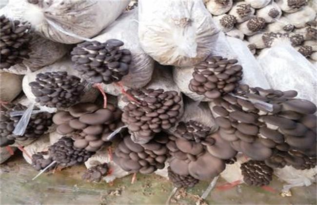 平菇菌棒生长缓慢原因及解决方法