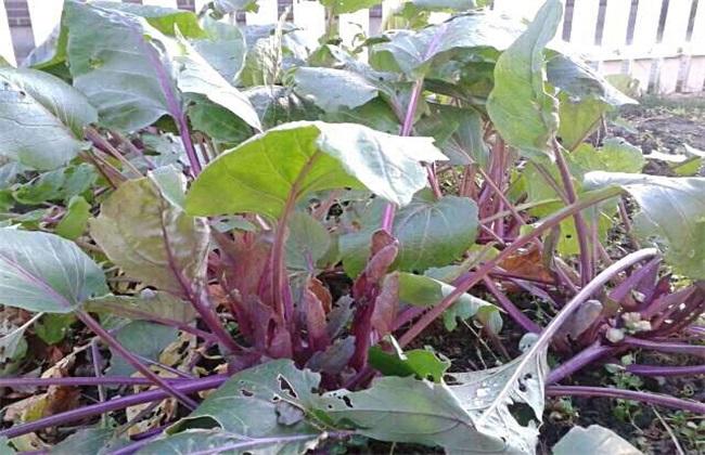 红菜苔 种植时间 红菜苔方法